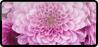 NY Chrysanthemums